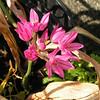 """""""Allium"""" roze"""