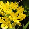 Allium moly 'liliaceae'
