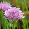 """Allium schoenoprasum"" Bieslook"