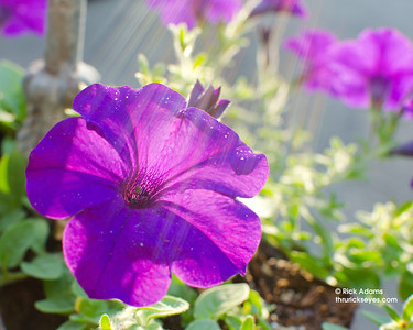 One of the petunias just outside our back door as the sun crested the hill behind our house.