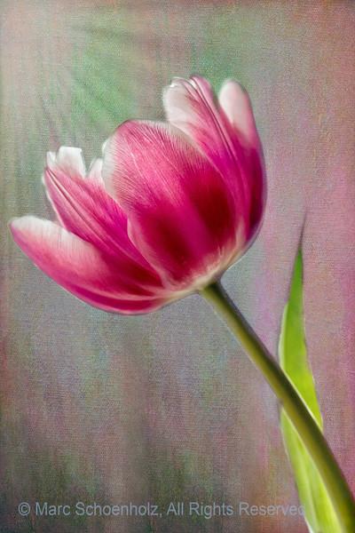 Tulip(s)