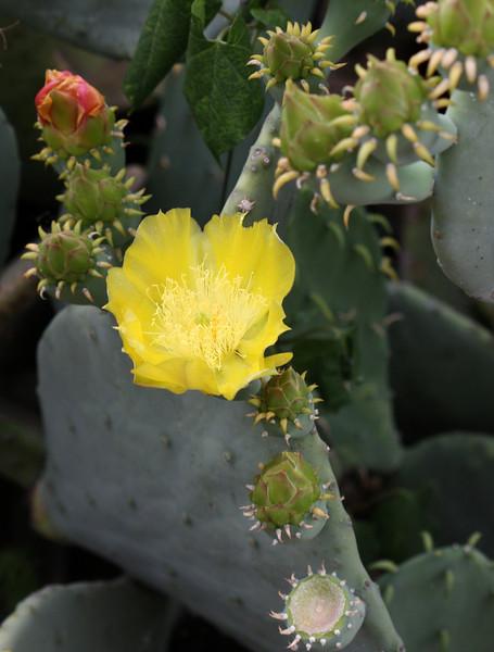 Texas prickly-pear flower
