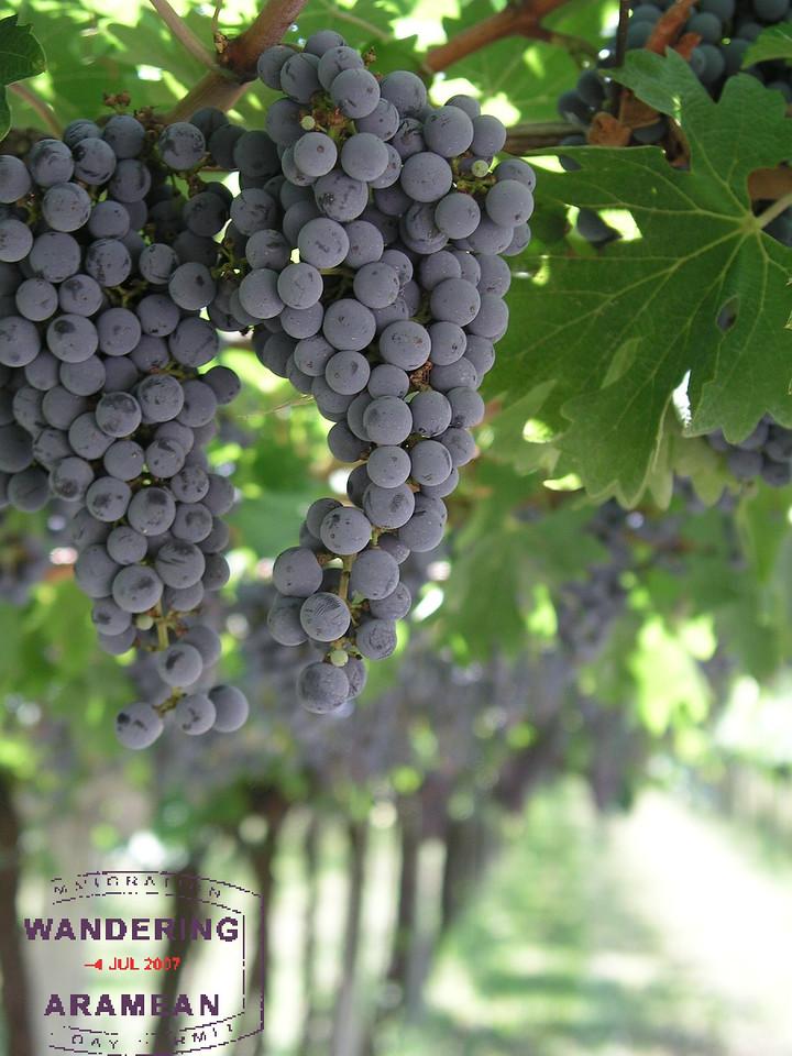 Among the grapes