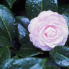 Camellia with Water Drops
