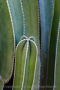 White-Edged Cactus