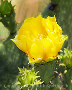 Cactus Beauty ~ A beautiful yellow cactus flower, April in Texas.