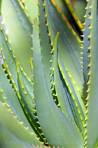 Aloe in Green ~ During a trip to the Los Angeles County Arboretum, I visited the aloe garden, enjoying shooting the various lines, patterns and stripes of the many aloe species.  This was one of them, in its natural colors.