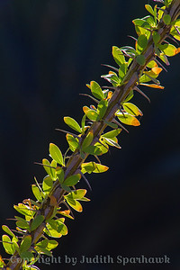 Ocotillo Stalk