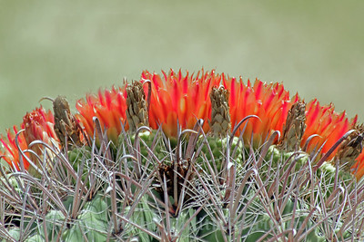Barrel Cactus Blooms ~ On a recent trip to Southest Arizona, I saw many of these barrel cactus plants with orange blooms crowning the tops.  Apparently August is the month for this cactus to bloom, and they were in all their glory.