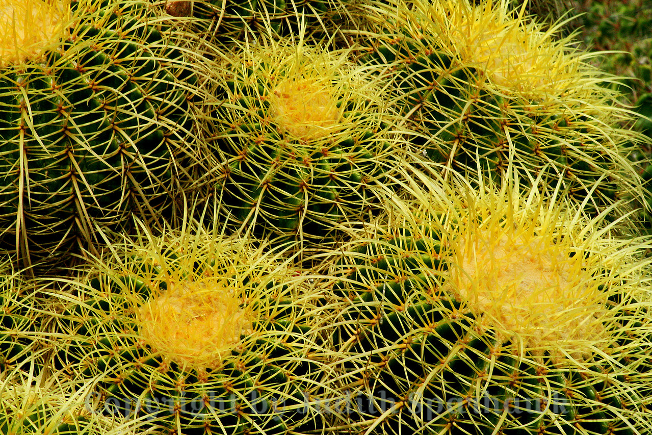 Cactus Family ~ This photograph is of just a very small portion of a group of this cactus, all nestled together.  Huntington Library Gardens.