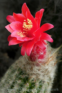 Cactus Flower ~ This pretty flower pops up from a not very special looking cactus stalk.  Huntington Library Gardens.