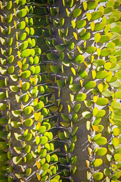 Very Leafy Thorn Tree