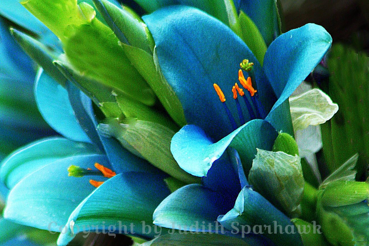 Close-up Blues ~ Another shot of the beautiful turquoise blue flowers.