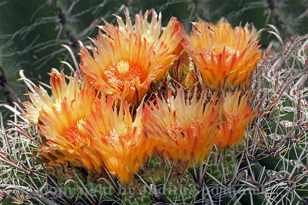Yellow Cactus Blooms ~ Most of the barrel cactus plants in Southeast Arizona had a deeper orange bloom.  This one had more yellow blossoms, which were very pretty.