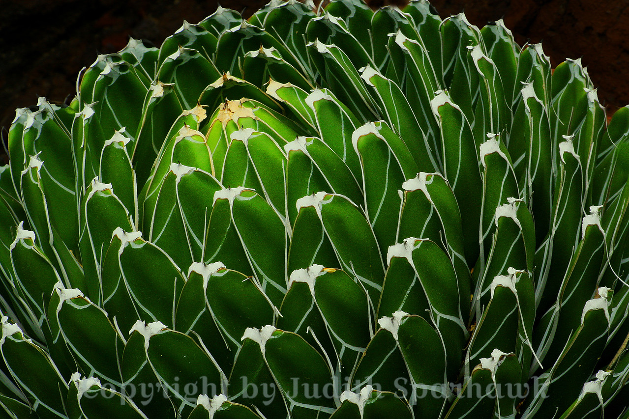 Patterns and Lines ~ This interesting plant was in the Huntington Library  cactus and succulent garden.