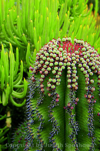 Cactus Balls ~ I liked the wavy pattern of the vertical rows on this cactus, topped off with round balls.  What fun!  Huntington Library Gardens.