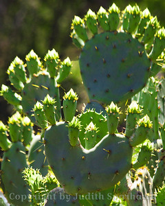 Blossoms-To-Be ~ These prickly pear cactus plants were loaded with buds.  When they all bloom, it will be an amazing sight to see!