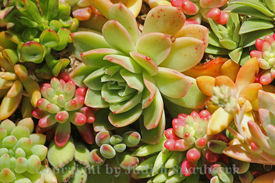 Succulents ~ This mass of succulent plants was a small part of a succulent wreath at the gardens.  I liked all the variations in colors and shapes.