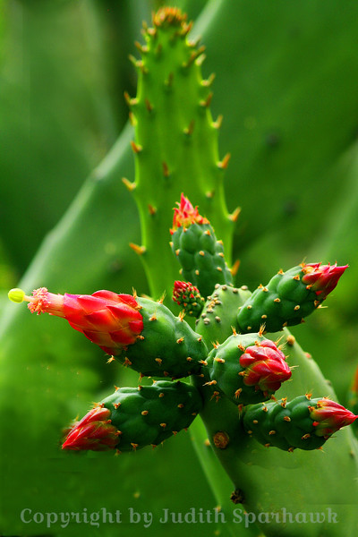 Cactus Cluster ~ These cactus buds were clustered together, about to bloom.  Huntington Library Gardens.