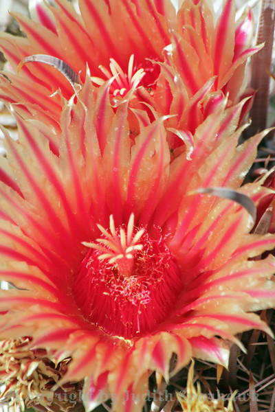 Barrel Cactus Bloom ~ These pretty blossoms were on a type of Barrel Cactus in the Living Desert in Palm Desert, California.  I was surprised to see these blooms in November.