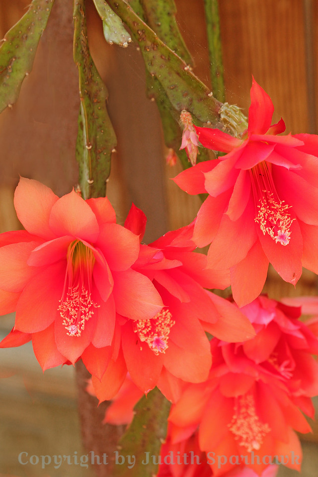Cactus Flowers Four ~ These dazzling flowers festooned the hanging stems of this cactus.  I took way too many shots, but I couldn't stop, they were so beautiful.