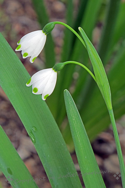Lily of the Valley ~