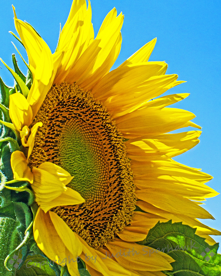 Big Sunny ~ When I stopped at a farmstand the other day, I found these wonderful big sunflowers planted nearby.  I loved the textures of their centers, and the bright sunny faces.