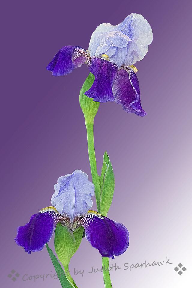 Iris Duo ~