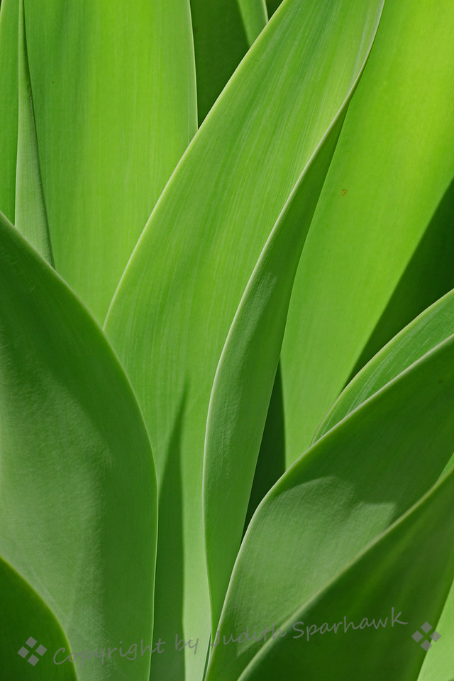 Aloe Green ~ A vertical version of the Green on Green aloe photograph.  I like the shapes, lines and the shadows.