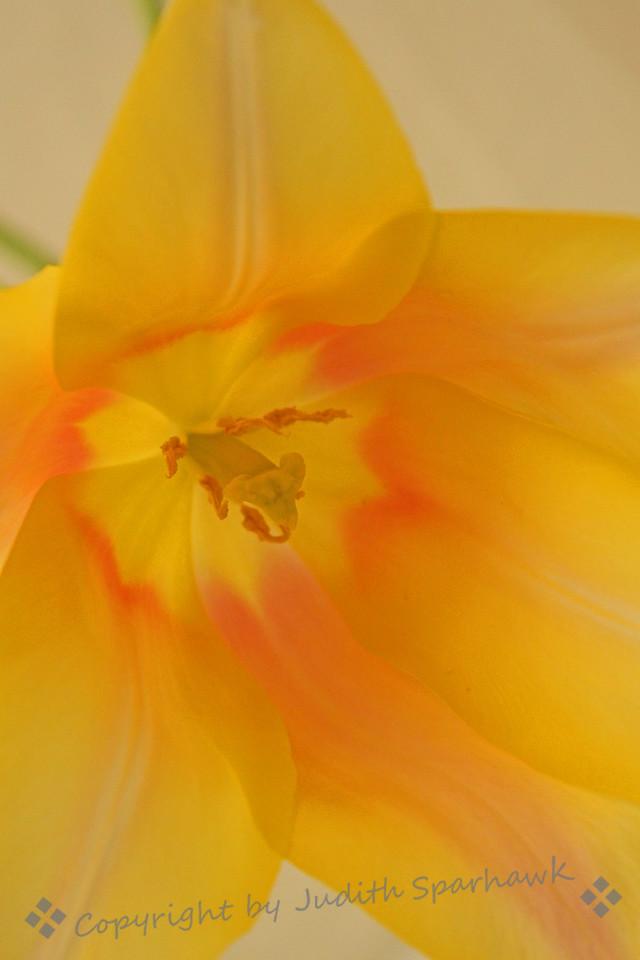 Tulip Gold ~