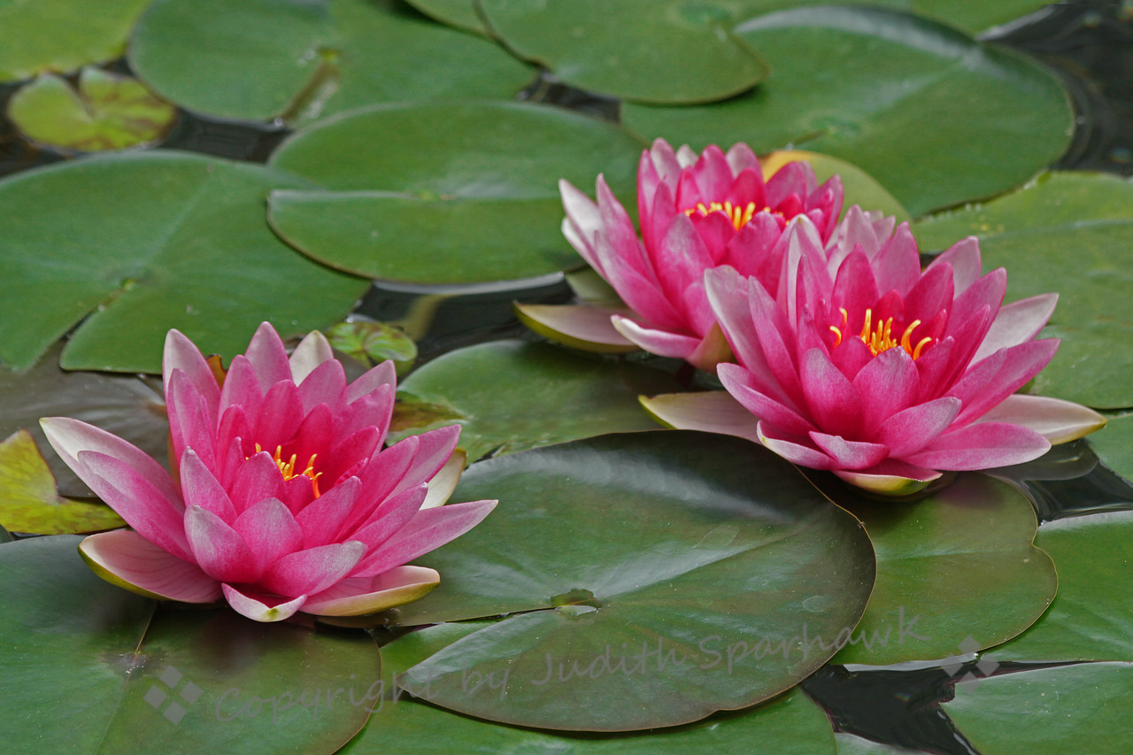 Pink Lilies ~