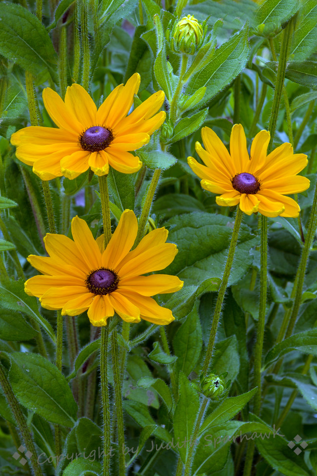 Three Suns Blooming