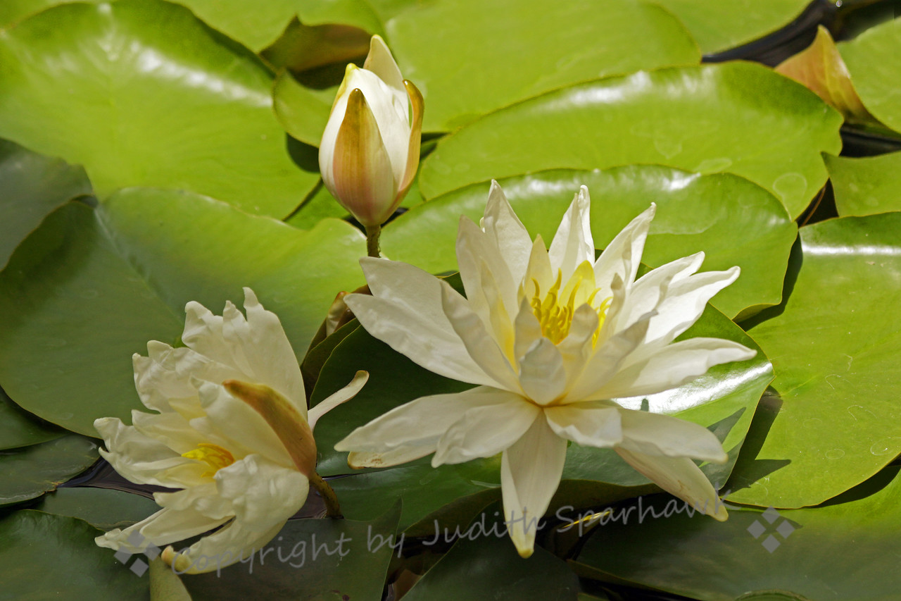 White lilies ~ This particular type of waterlily had a crinkly texture to the petals, giving a almost papery look to them.