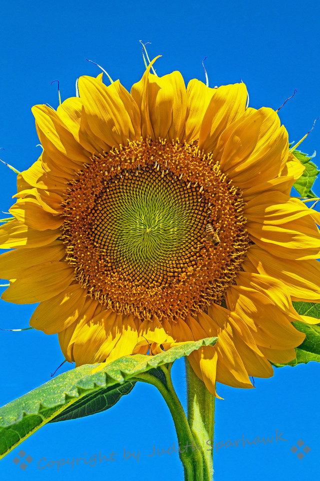 Sun in the Sky ~ On my East Sierra trip, I drove through the small town of Independence, California.  I noticed a whole row of sunflowers growing alongside a building, so stopped to shoot them.  This was my favorite--and seen in larger sizes, the pattern of the inside of the flower is great.