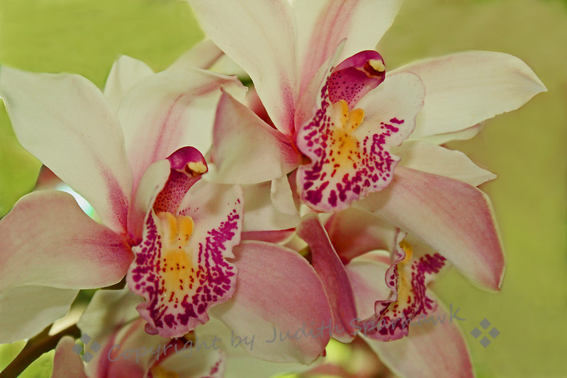 Orchid Beauty ~ Another of the orchids at the Flower Show in Redlands.