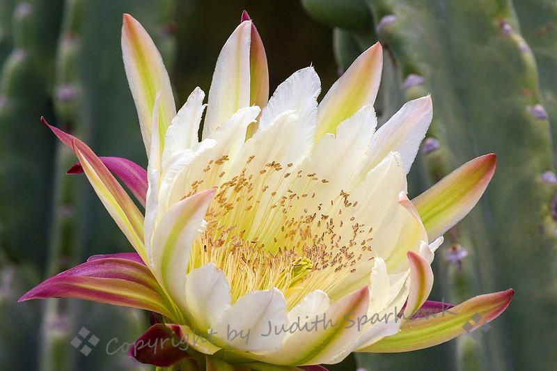 Cactus Bloom Close-Up