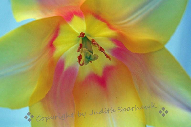 Rainbow Tulip ~
