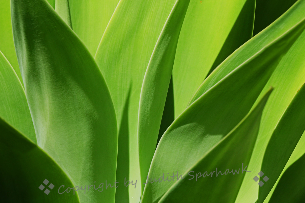 Green on Green ~ I am always impressed with the lines and patterns made by various aloe plants, and keep trying to shoot an even better view of these fun plants.