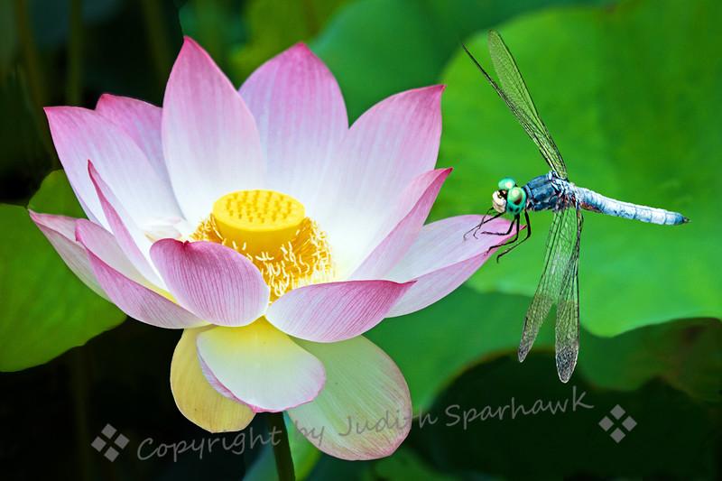Blue Dasher on Lotus