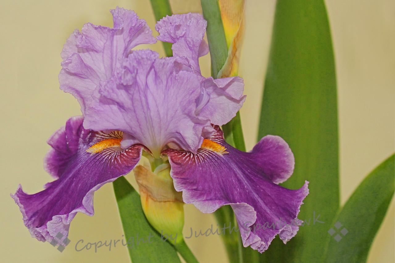 Iris Bloomin'