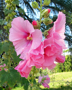 Hollyhocks Pink