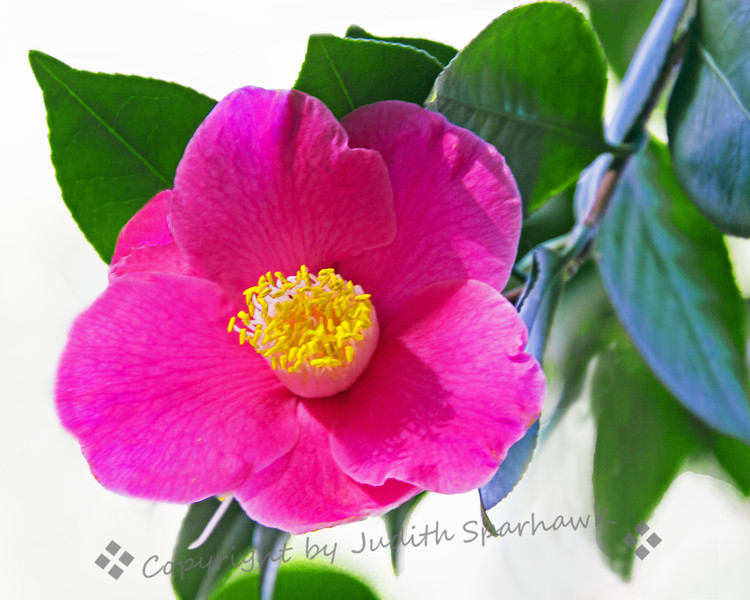 Camellia Pink
