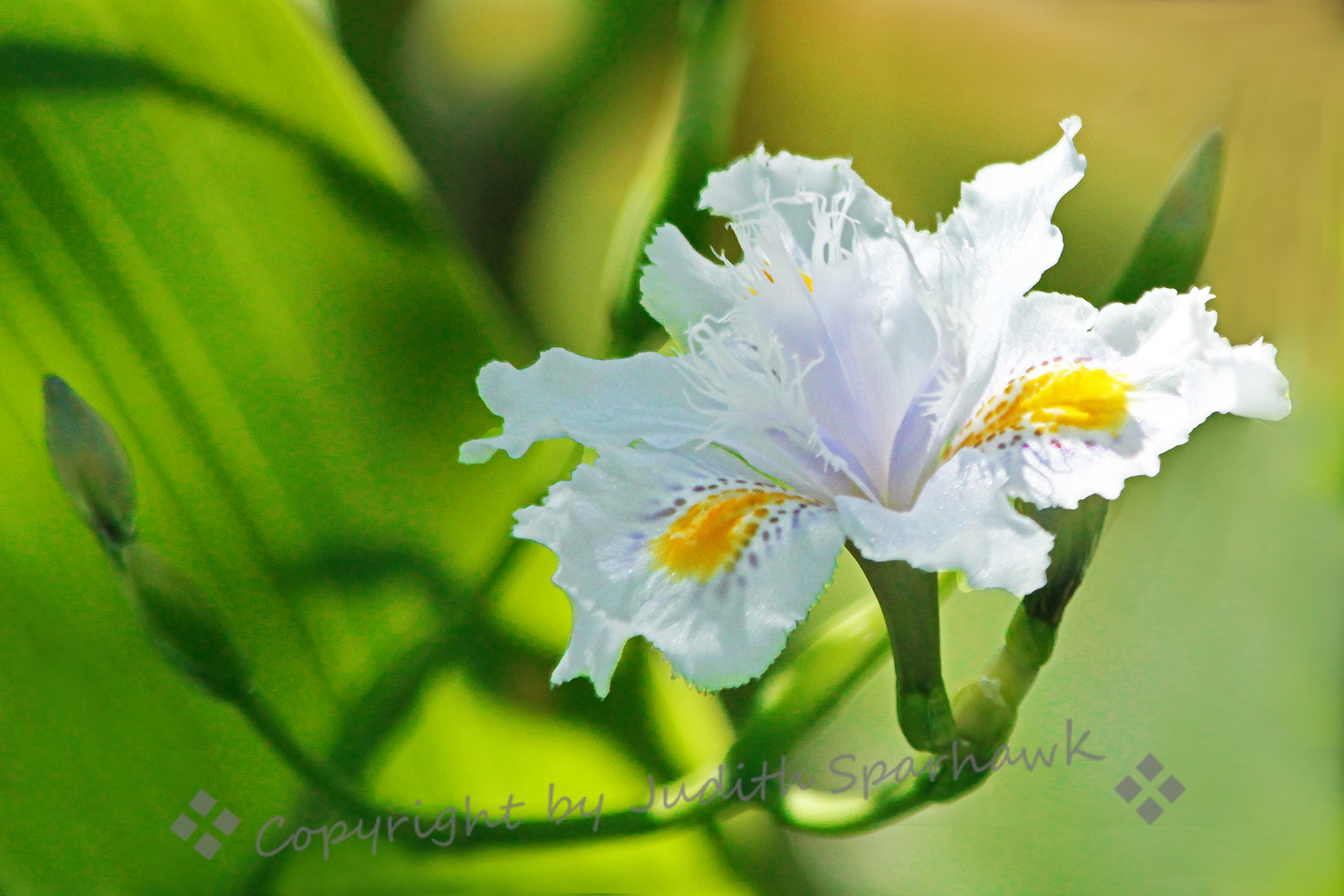 White Iris ~ This beautiful lacy variety of iris was beautiful in the morning sun.