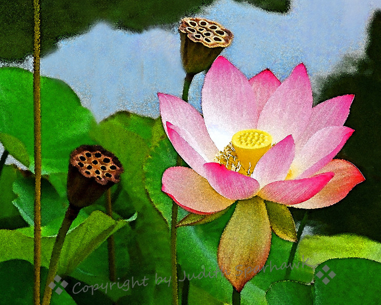 Lotus in Bloom ~ I love lotuses, and don't ofen get to see them.  I liked this one with both the bloom and the seed pods in one shot.  I played with filters a bit for a more painterly effect.
