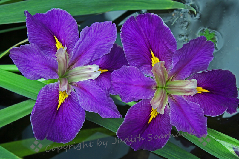The Water Iris ~