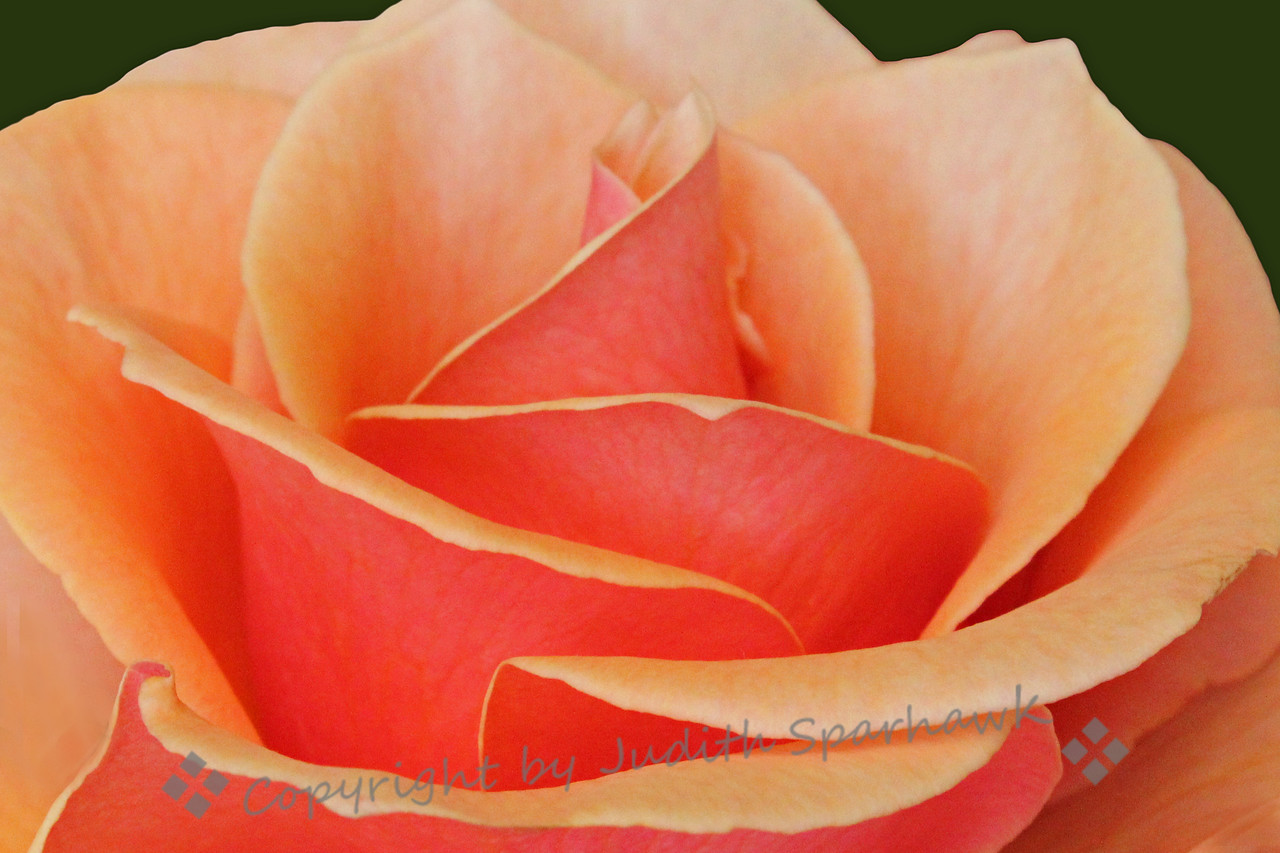 The Orange Rose ~ There were many beautiful roses at the Flower Show.  I liked the way this one had a darker orange color on the underside of the petals, and lighter on the top.