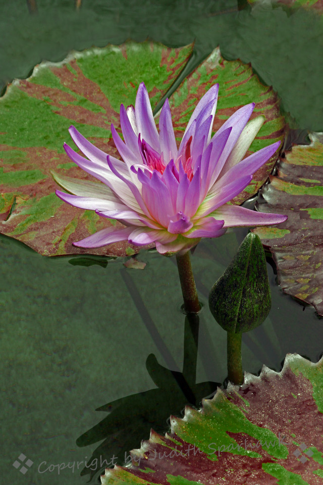 Waterlily at the Getty ~ There were four ponds in the garden at the Getty Villa, and apparently May is a wonderful time for waterlilies to bloom.  This was one of them.  I really liked the varied colors and patterns of the lily pads, as well as the beautiful blooms.
