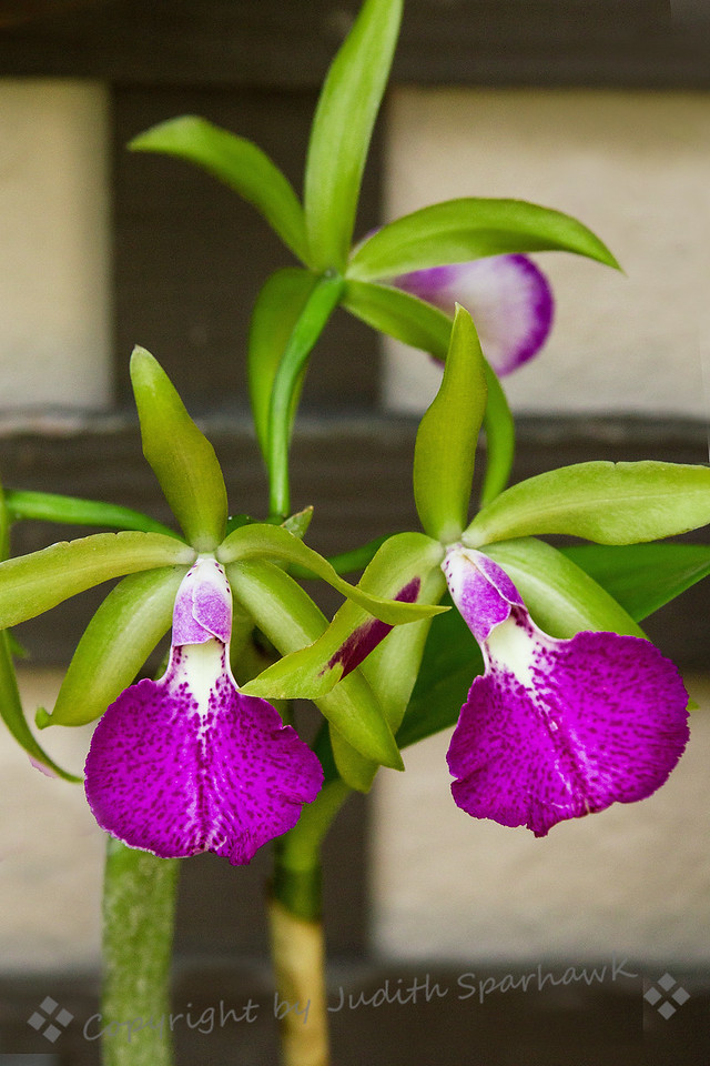 Orchid Beauties
