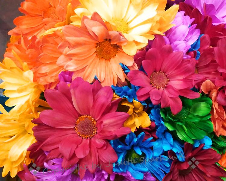Daisy Rainbow