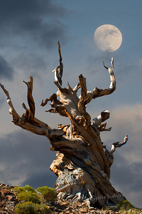 Old Bristlecome & the Moon